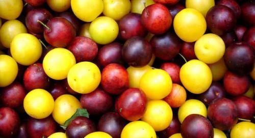 Salute: buoni motivi per mangiare le prugne, proprietà e benefici